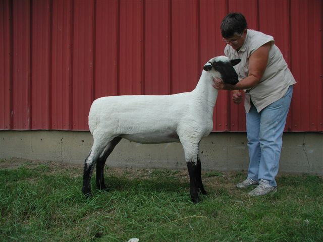 donated ewe lamb to 4 h