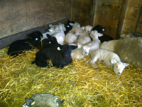 Mixed Group of Babydoll Lambs, Feb. 2012