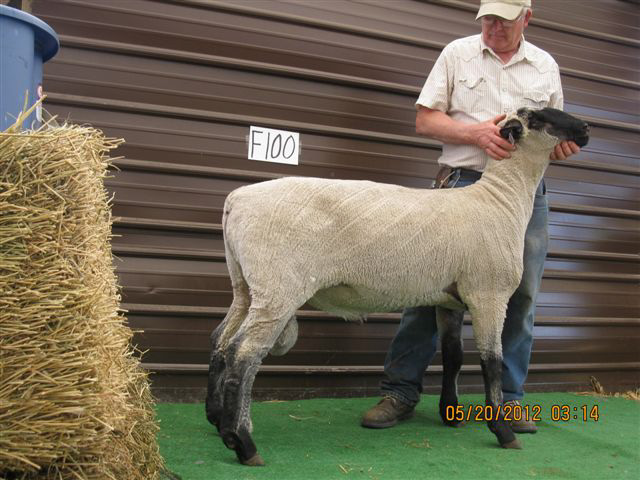 Hampshire Sale Sheep~Fuller's Hamps & Downs